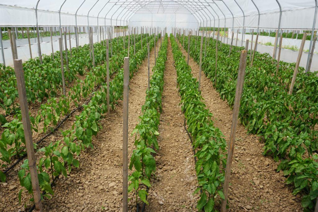 Les rangées de légumes poussent vigoureusement dans la nouvelle serre agricole offerte par Solidarité Kosovo au printemps 2020.